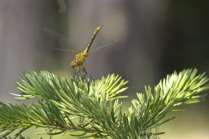 Skimmer on Fir
