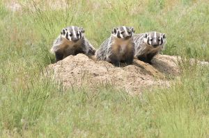 Busy as Badgers-Montana