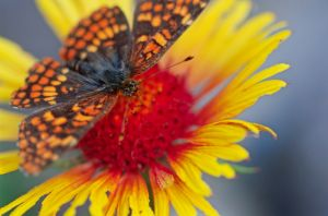 Checkerspot Composite-1