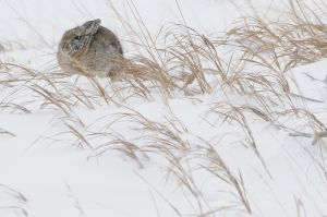 Cold Cottontail