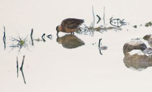 Dowitcher in New Mexico