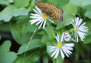 Checkerspot in the Asters