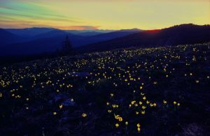 Evening Lilies on Rock Candy Mtn.