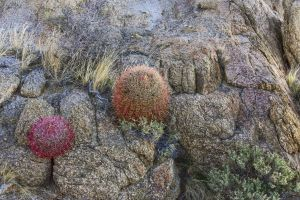 Mohave~A Prickly Pair