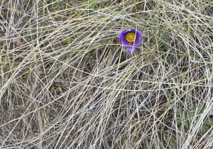 Pasque Flower Solitude