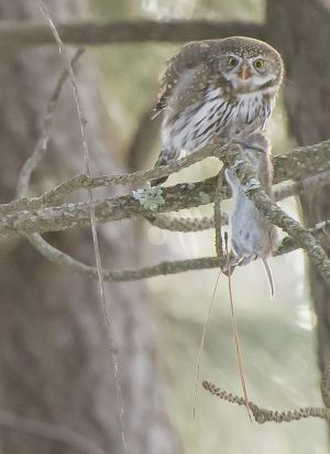 Blue Mountain Journal-Pygmy Owl