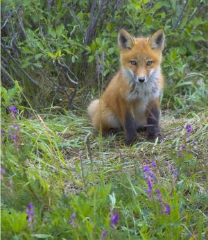 Yukon Red Fox