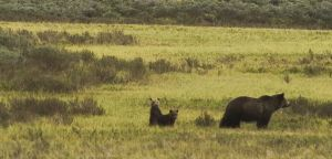 Grizzly Family-YNP