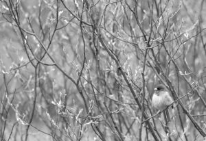Junco Juxtaposition