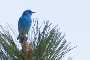 Blue Mtn Mountain Bluebird-1