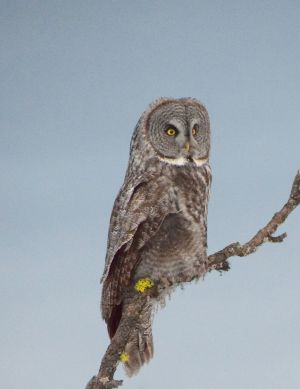Blue Mtn Journal-Great Grey Owl-Watching