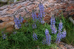 Lupine in the Lee
