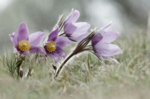Pasque Flower Pastels