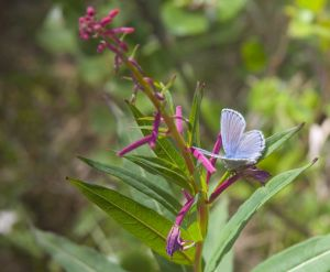 Copper Blue on Fireweed