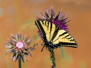 Wester Tiger Swallowtail