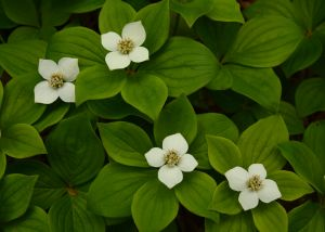 Bunch of Bunchberry Dogwood