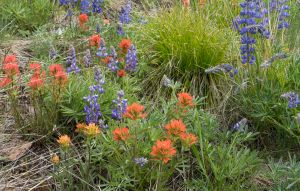 Arrangement of Paintbrush and Lupine-3