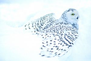 Black and White-Snowy Owl
